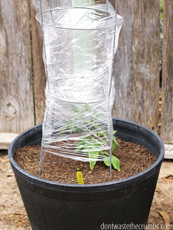 Insulate Tomato Plants with Saran Wrap
