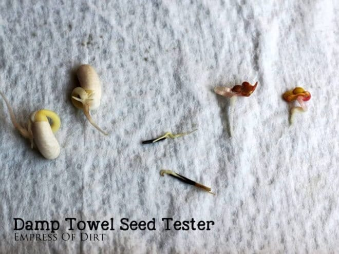 Wondering how to test if old packets of seeds are still viable? Try this damp towel seed tester.