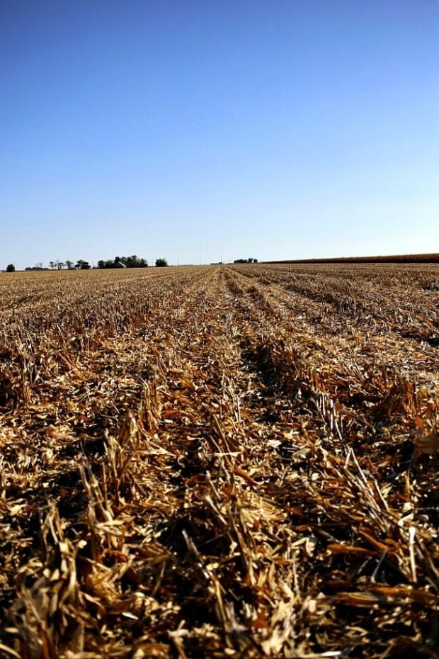 corn-field-harvest