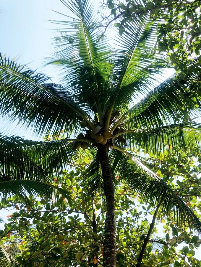 Palm Tree in Roatan